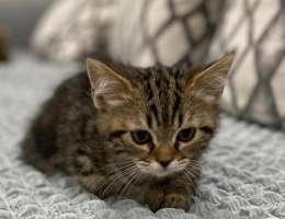 ٣ قطط للبيع مكس سكوتش و شيرازي اعمارهم ٣ اشهر