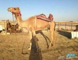 مطلوووب رحول عمانيه