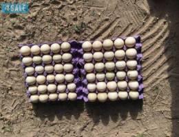 للبيع بيض بط مصري